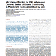 Membrane Binding by tBid Initiates an Ordered Series of Events Culminating in Membrane Permeabilization by Bax