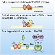 Allosteric Regulation of BH3 Proteins in Bcl-xL Complexes Enables Switch-like Activation of Bax