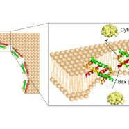 An amphipathic Bax core dimer forms part of the apoptotic pore wall in the mitochondrial membrane